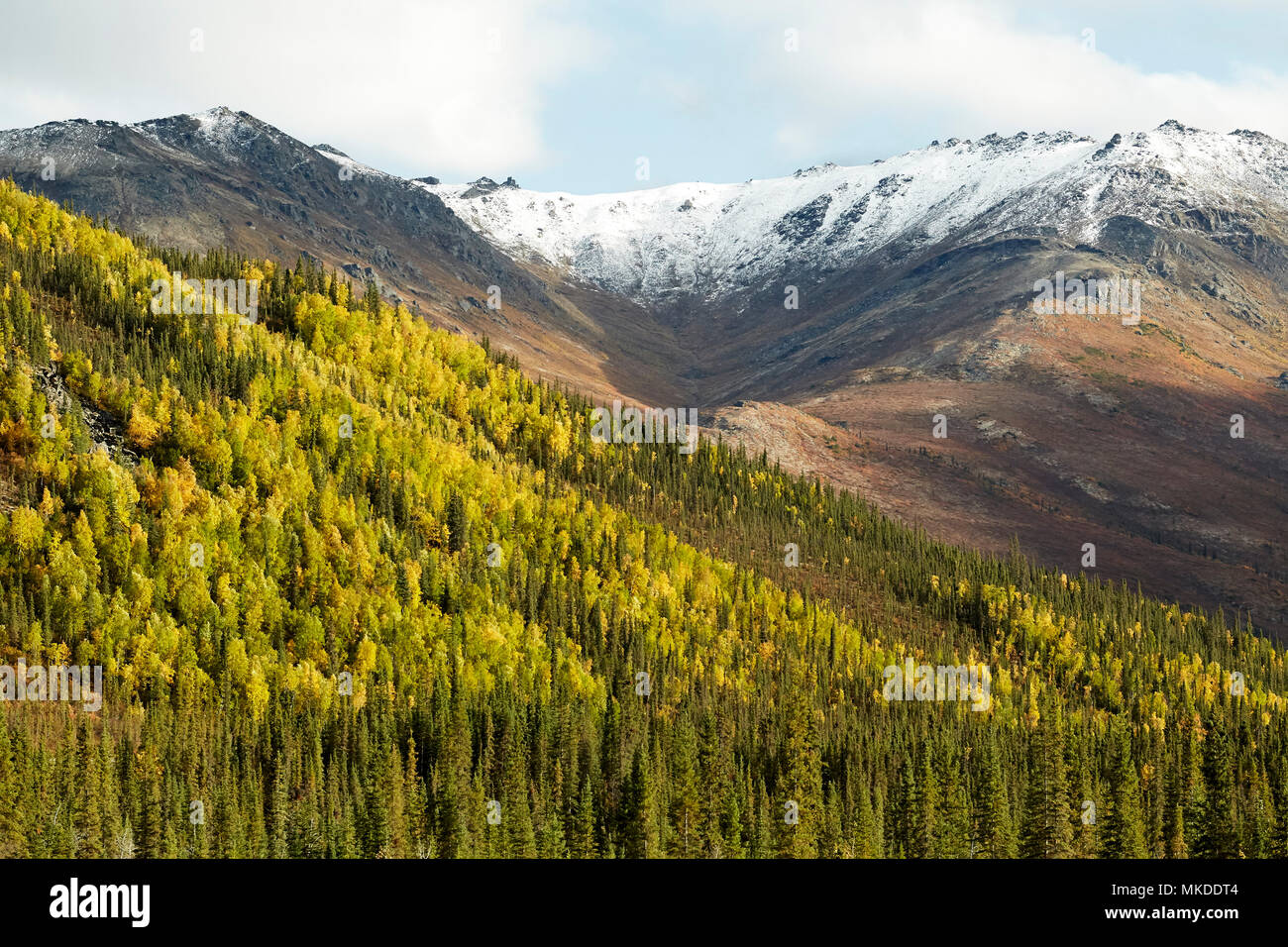 Dalton Highway : from Fairbanks to Prudhoe Bay, The forest of white spruces in autumn near the chain of Brooks, Alaska, USA - Stock Image