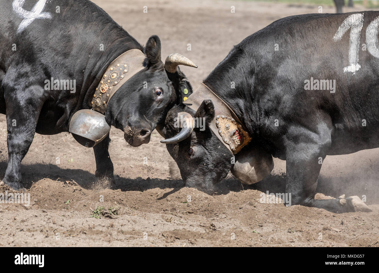 Eringer cows locking horns during a cow fight, tradition, heritage from the Valais, Sion, Switzerland - Stock Image