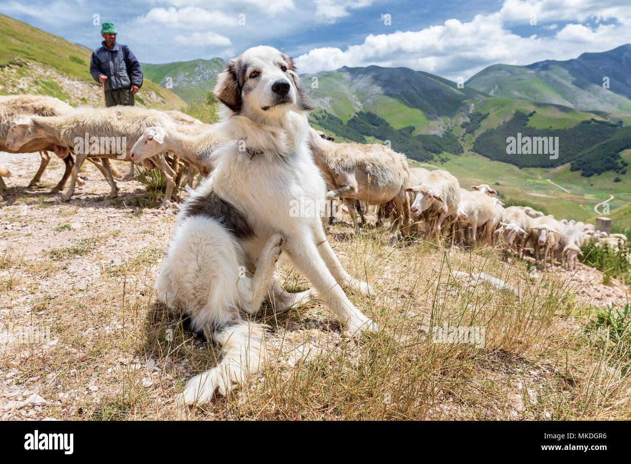 A Maremma sheepdog guarding sheep, Piano Grande, Monti Sibillini National Park, Umbria, Italy - Stock Image