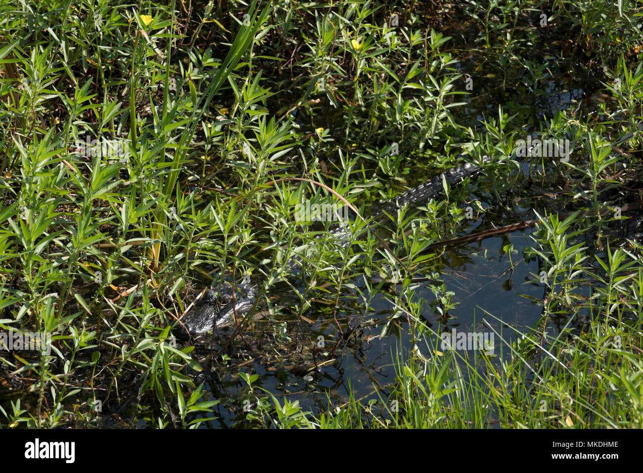 Young Wild Alligator in swamp waters Florida, USA Stock Photo