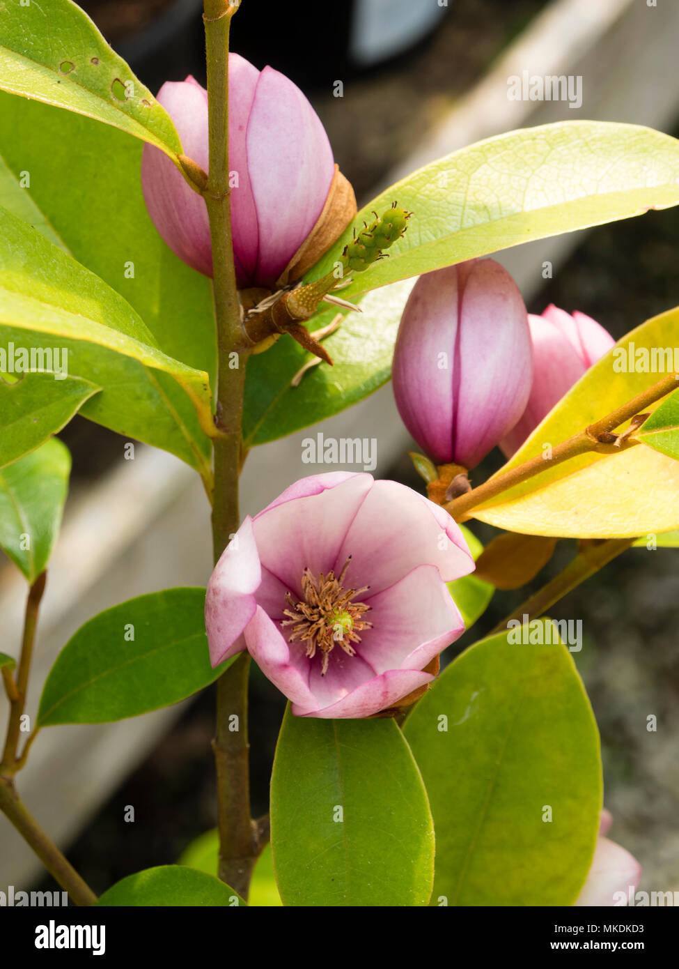 Small pink spring flowers of the complex hybrid magnolia michelia small pink spring flowers of the complex hybrid magnolia michelia type magnolia fairy blush mightylinksfo
