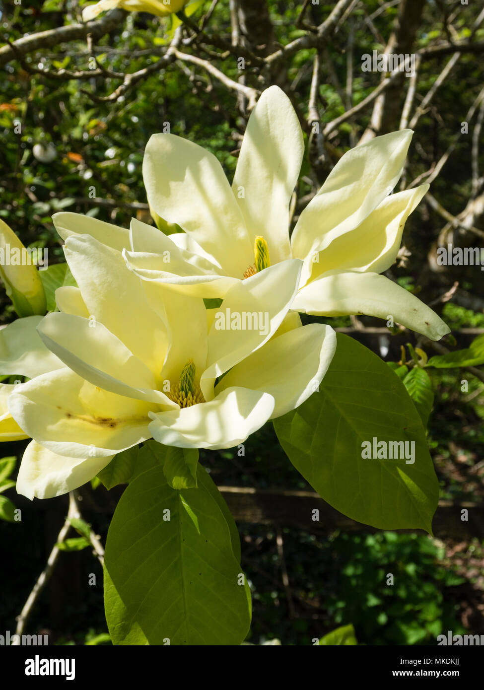 Pale yellow spring flower of the deciduous tree, Magnolia 'Fei Huang'  ('Yellow River') Stock Photo