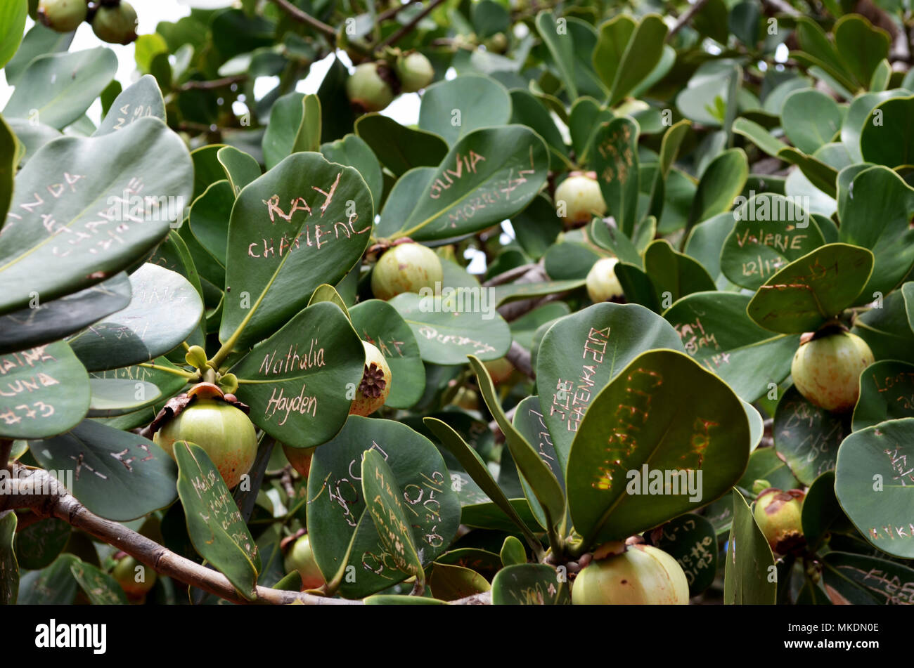 Names written on leaves of fruit tree - Stock Image