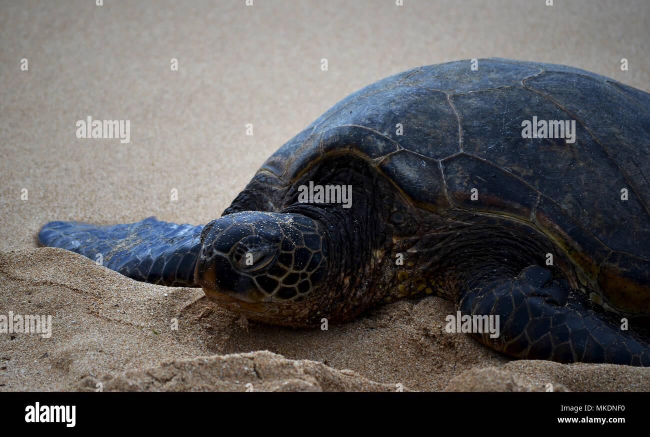 Green sea turtle on beach - Stock Image