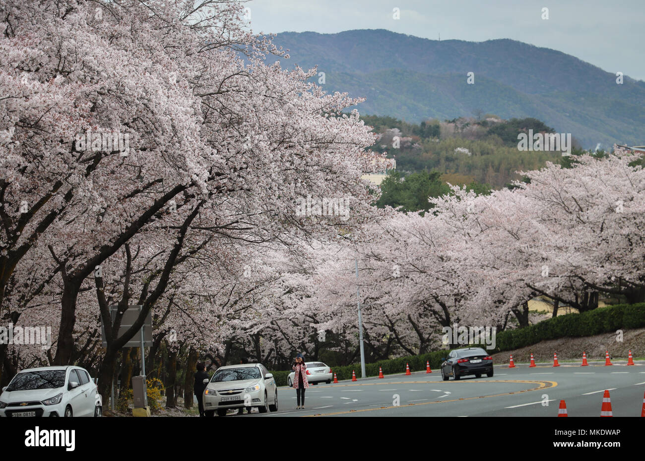 A woman stops to photograph huge cherry trees in full bloom on a roadside in Gyeongju,South Korea, at peak blossom season, with distant blue mountain Stock Photo
