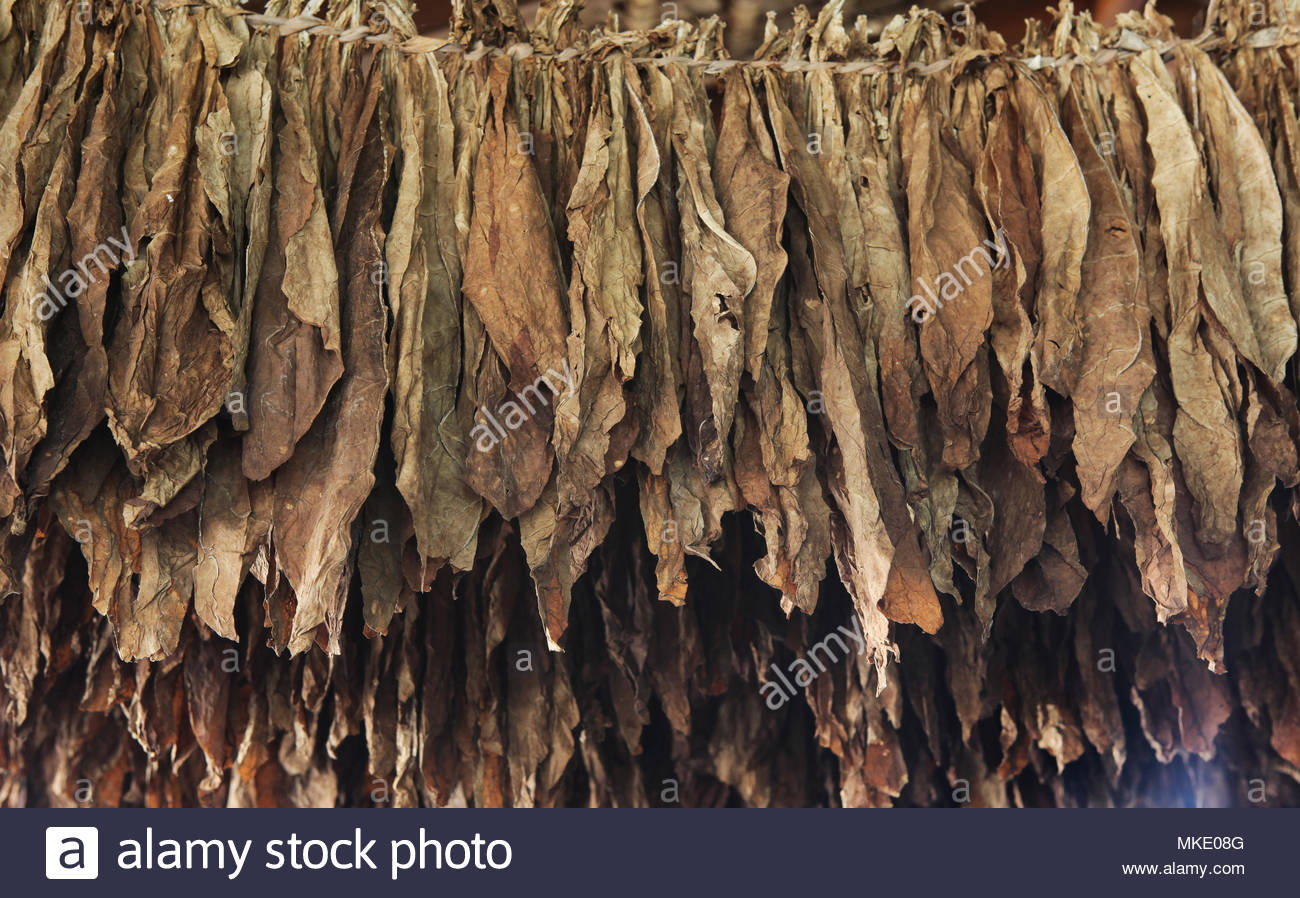 Tobacco leaves drying at the LaFlor Dominicana Cigar Factory in the Dominican Republic. - Stock Image