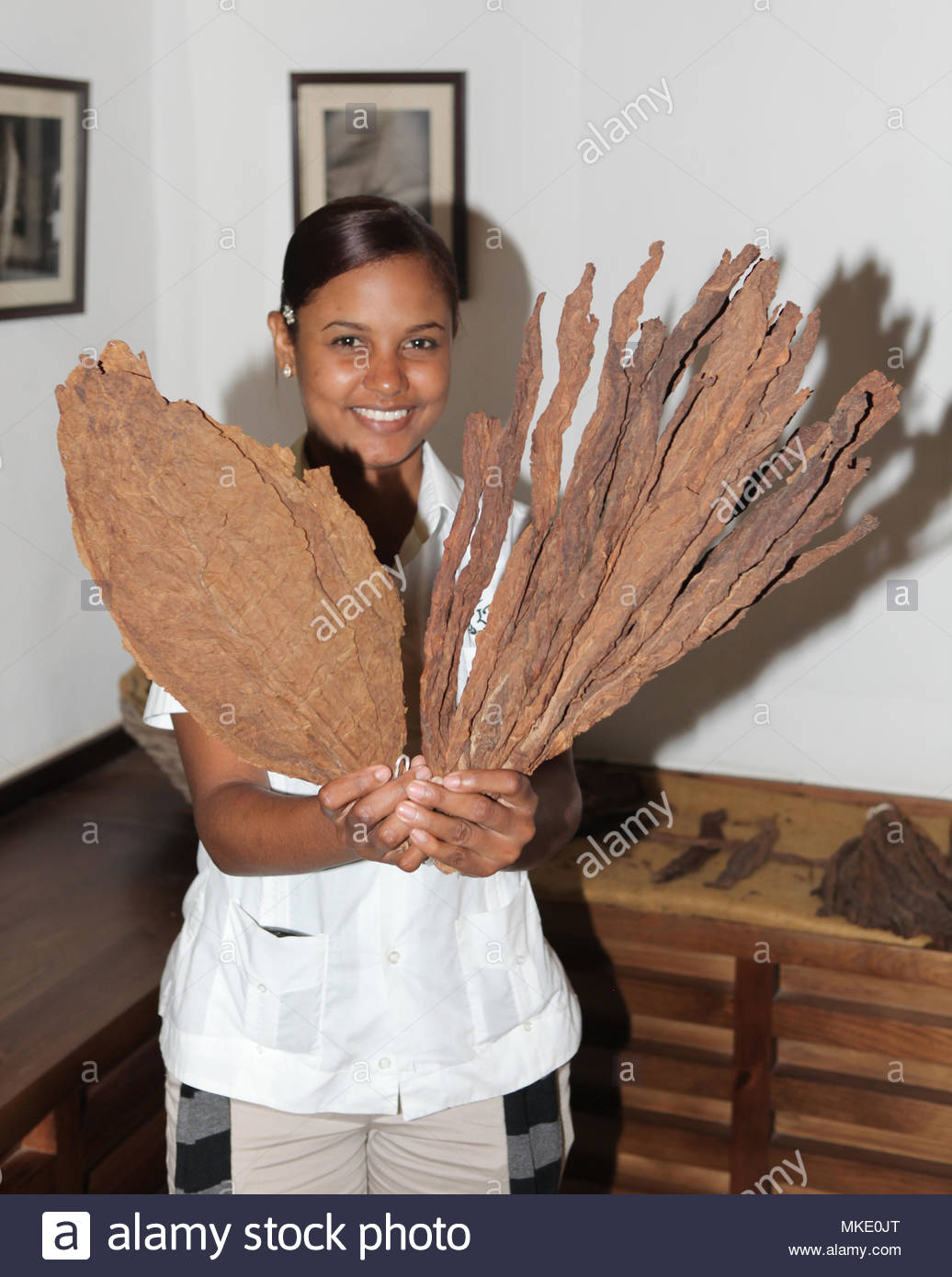 Employee shows processed and unprocessed tobacco leaves at the LaFlor Dominicana Cigar Factory in the Dominican Republic. - Stock Image