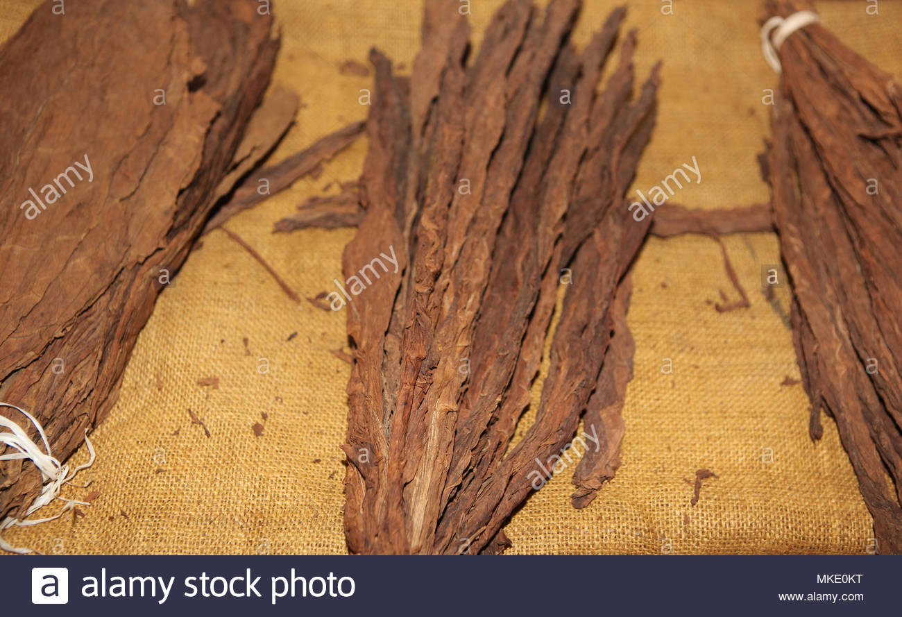 Bunches of dried tobacco leaves at the LaFlor Dominicana Cigar Factory in the Dominican Republic. - Stock Image