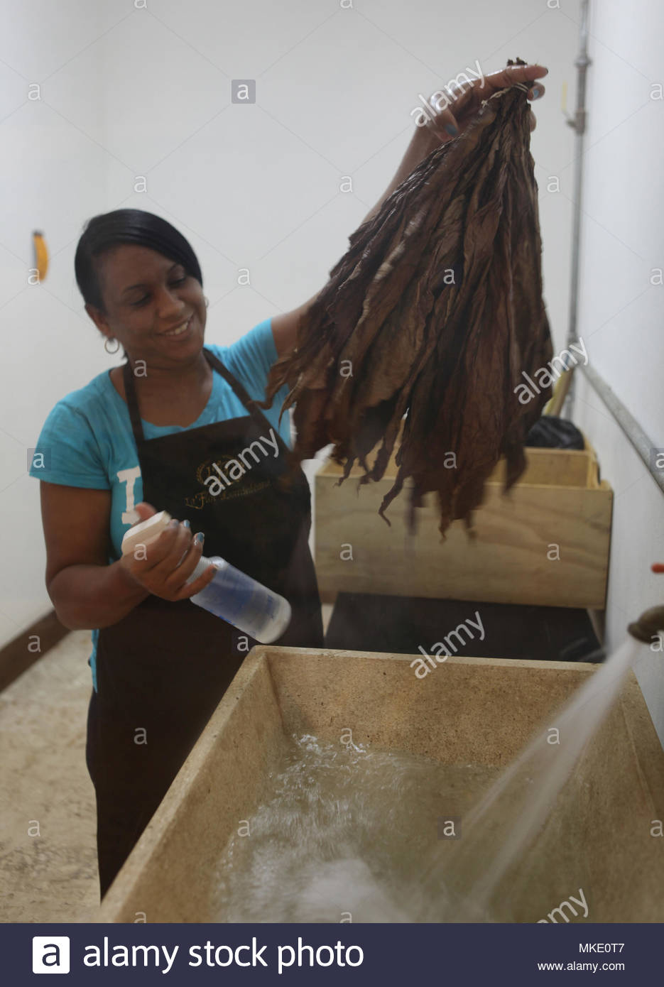 A worker moistens and washes dried tobacco leaves at the LaFlor Dominicana Cigar Factory in the Dominican Republic. - Stock Image