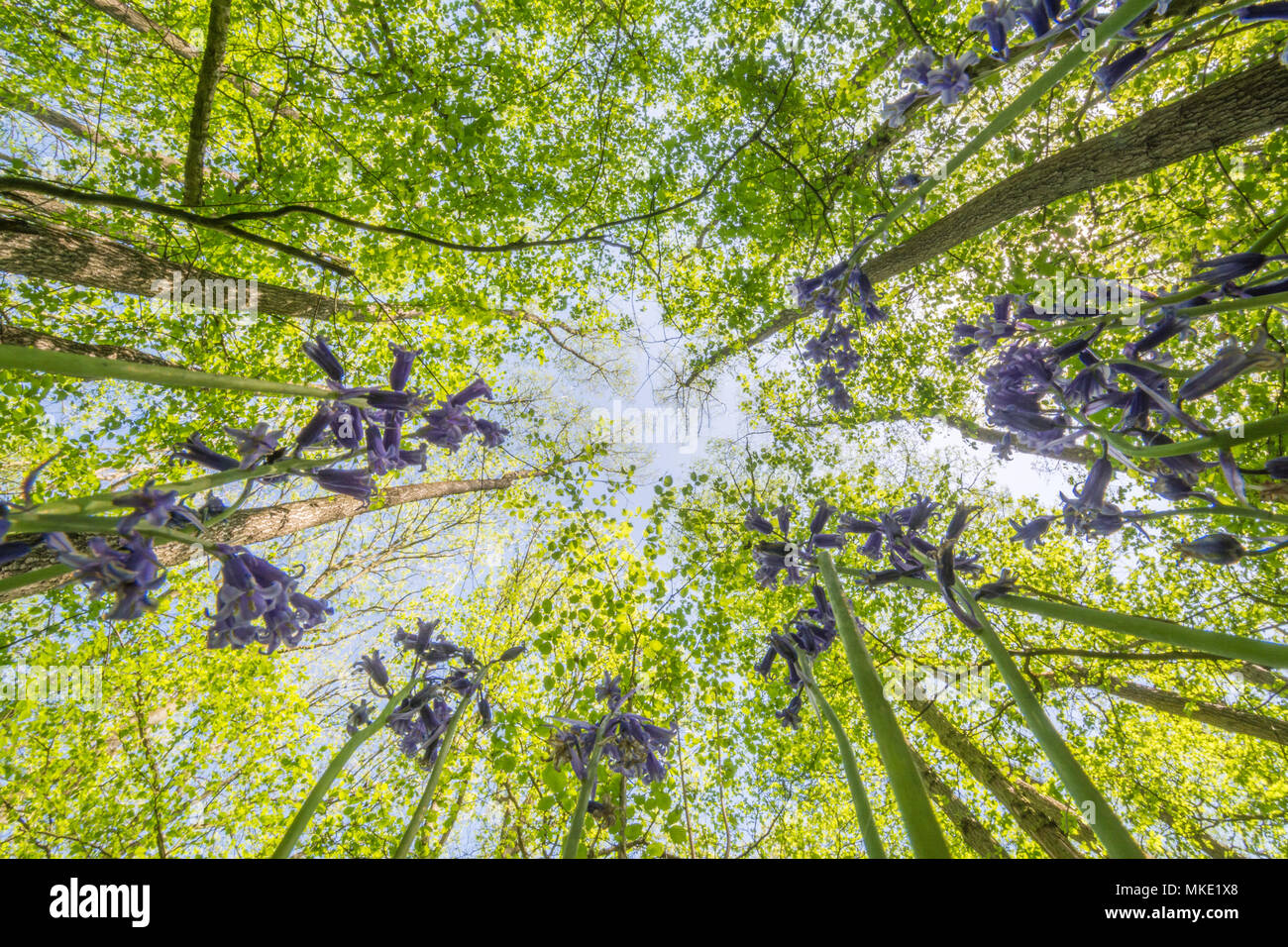 Worm's eye view of a Hampshire bluebell wood looking up into the canopy on a sunny spring day - Stock Image