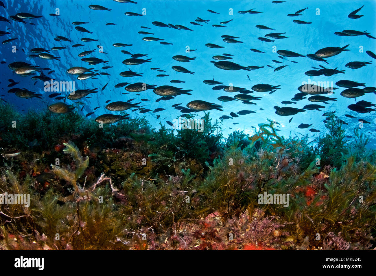 A damselfish (Chromis chromis) shoal swims un one direction perfectly synchronized in Formentera underwater depths (Balearic Islands, Spain) - Stock Image
