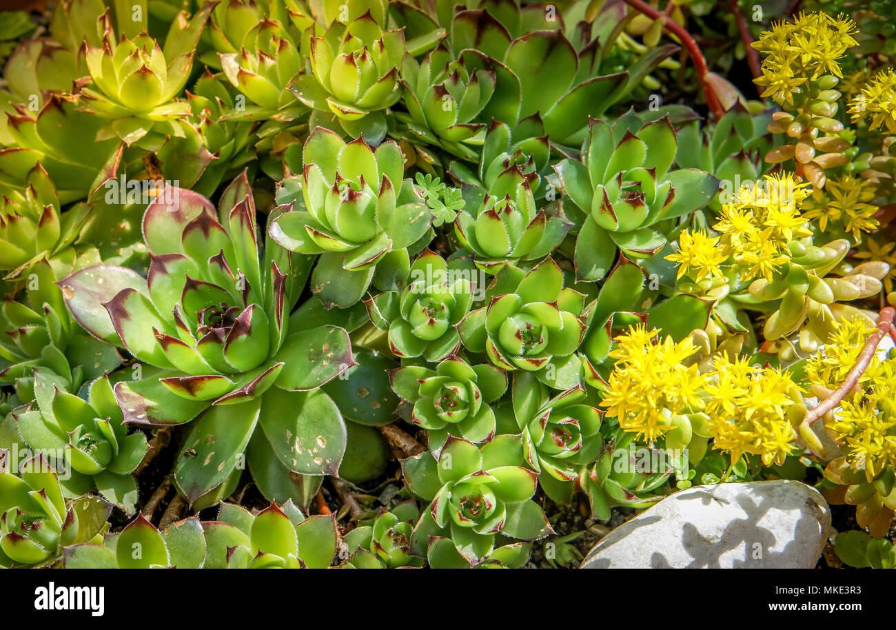 Sedum plants sempervivum succulent rockery plants with yellow sedum plants sempervivum succulent rockery plants with yellow flowers used for sustainable roof plantings mightylinksfo