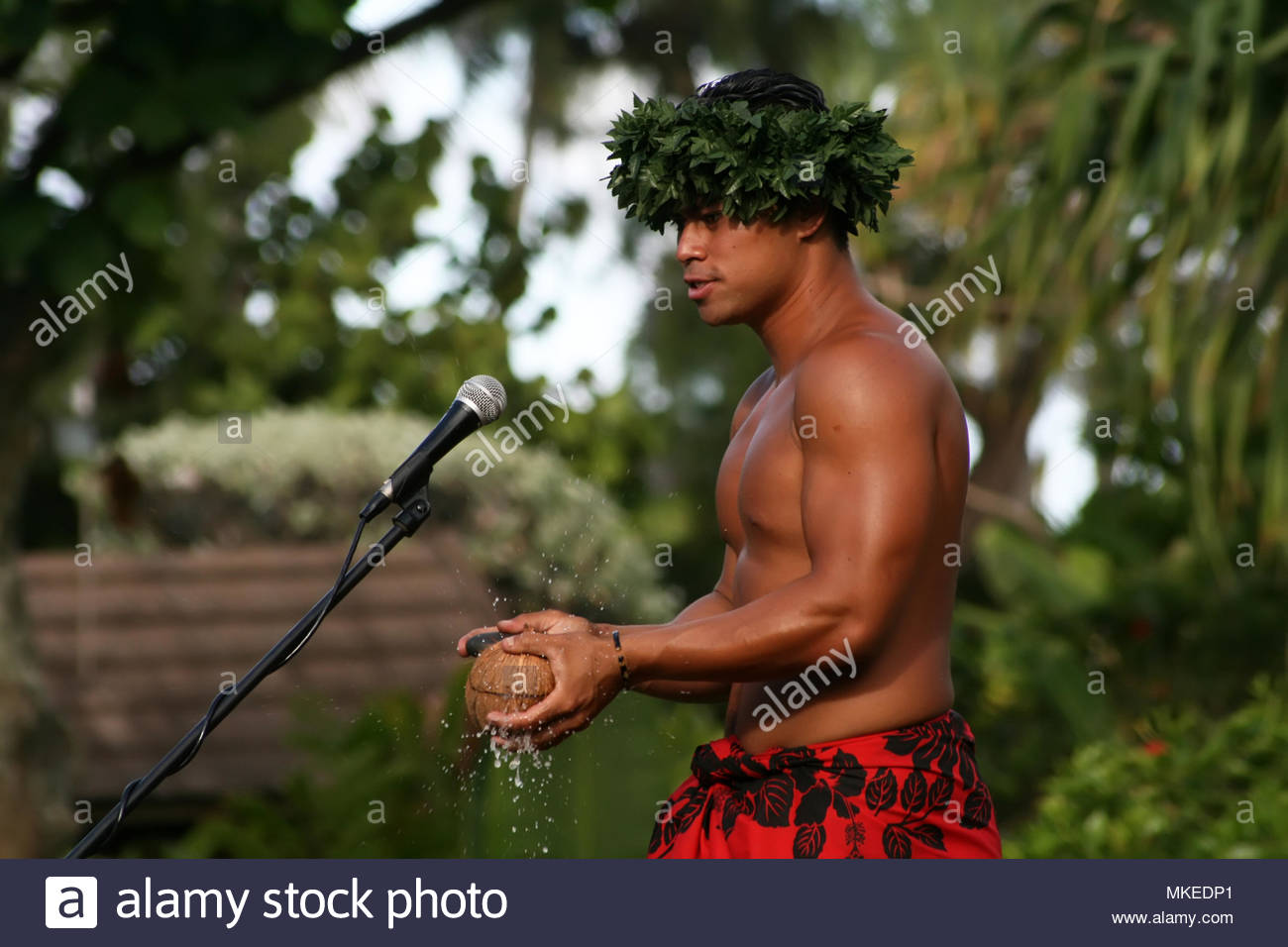 Polynesian man demonstrating how to open up a coconut with a rock. - Stock Image