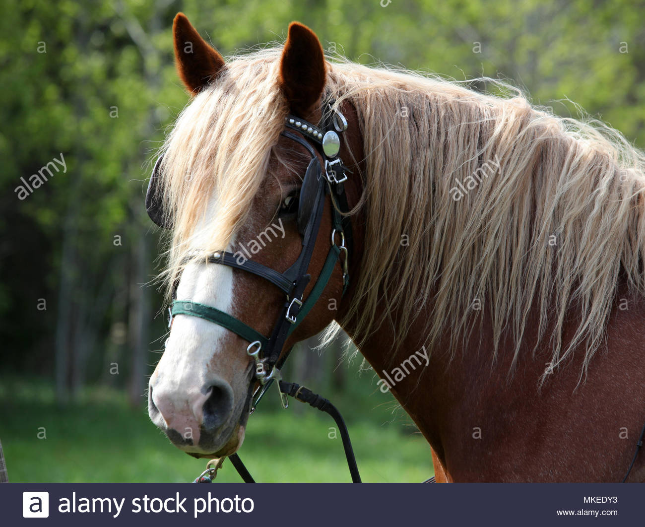 Guelph Ontario Canada Close Up Of The Head Of A Belgian Draft Horse With Blinders Stock Photo Alamy