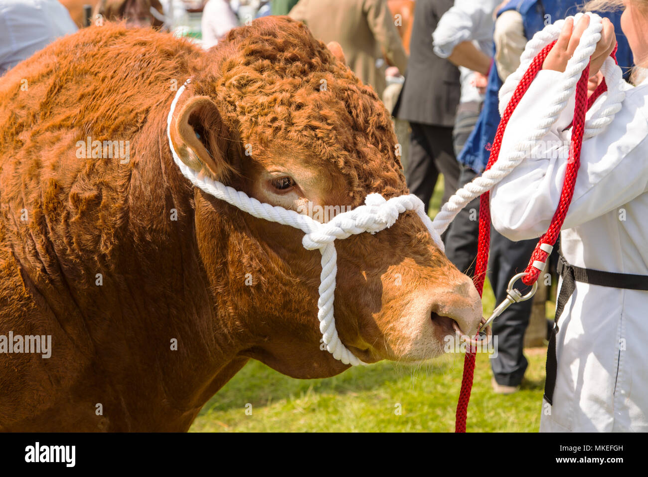 A Champion South Devon bull on display at a traditional county show - Stock Image