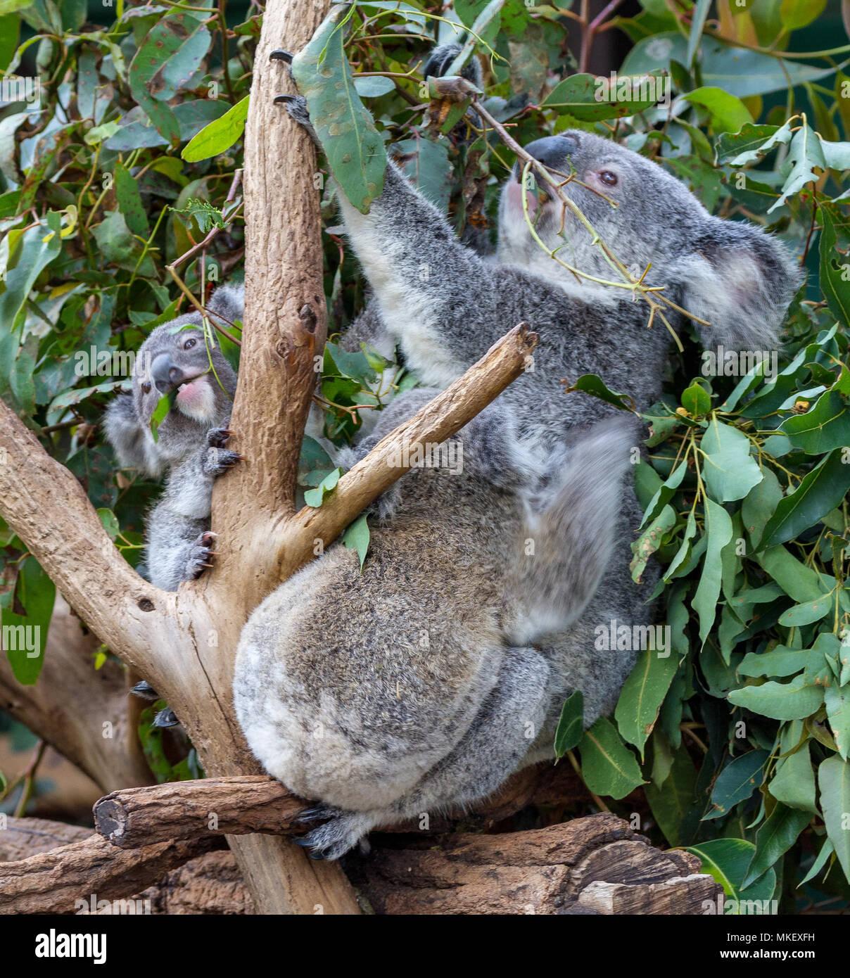 Koala and joey amongst gum leaves - Stock Image