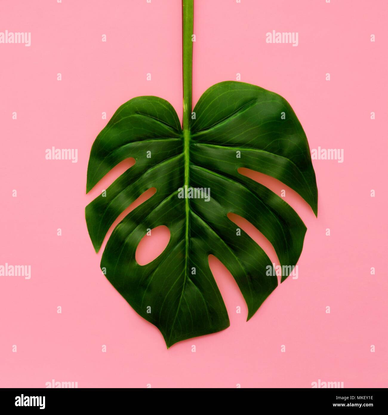 Tropical palm leaf on a light pink background. Minimal nature. Flat lay. Top view. - Stock Image