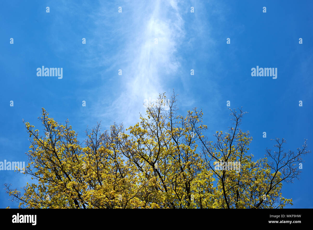 A line of white, wispy cirrus cloud cuts a blue sky above a tree coming into leaf in spring Stock Photo