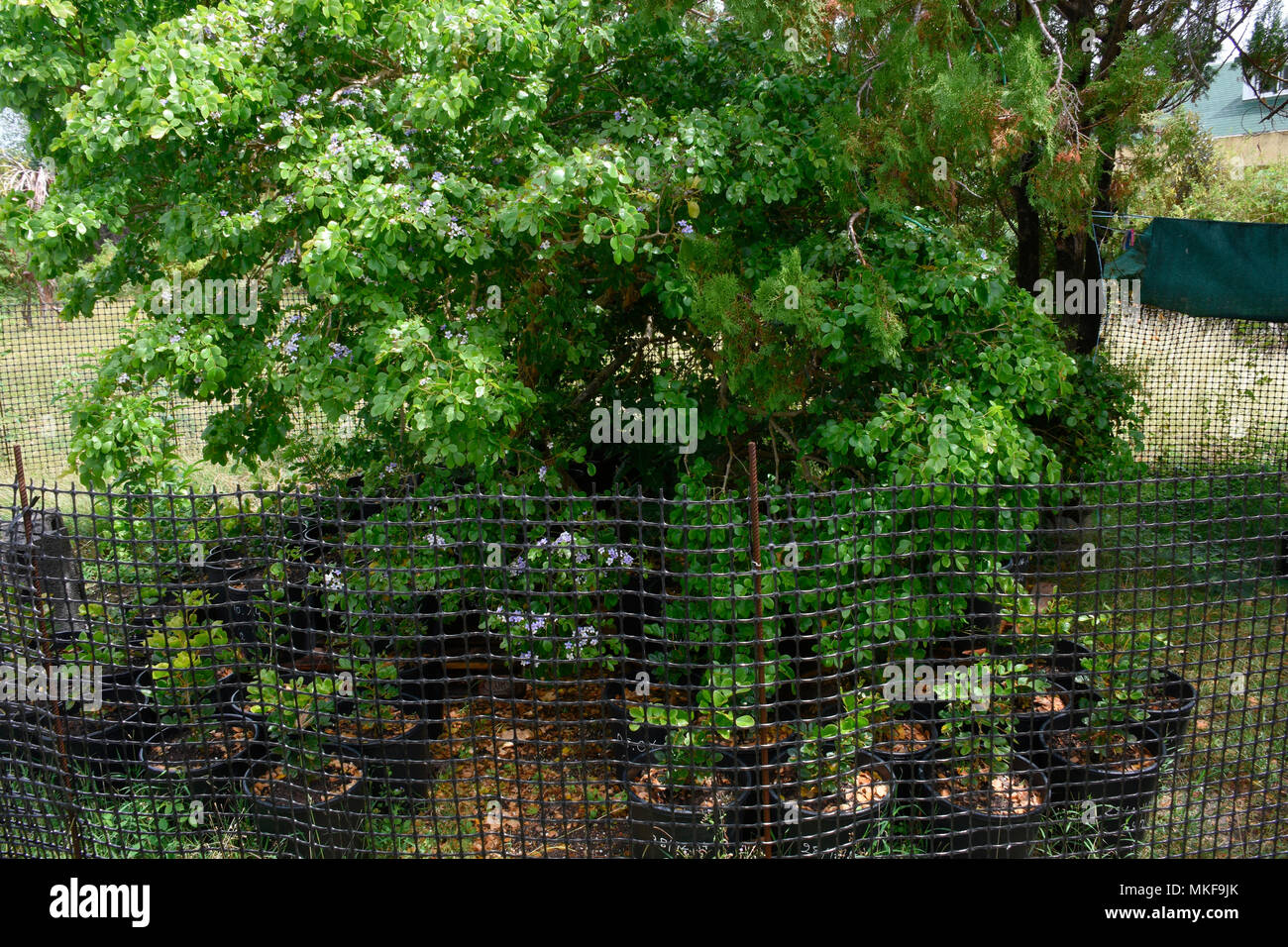Guaiac (Acacia spirorbis), plantation for regeneration and repopulation, La Desirade, Guadeloupe Stock Photo