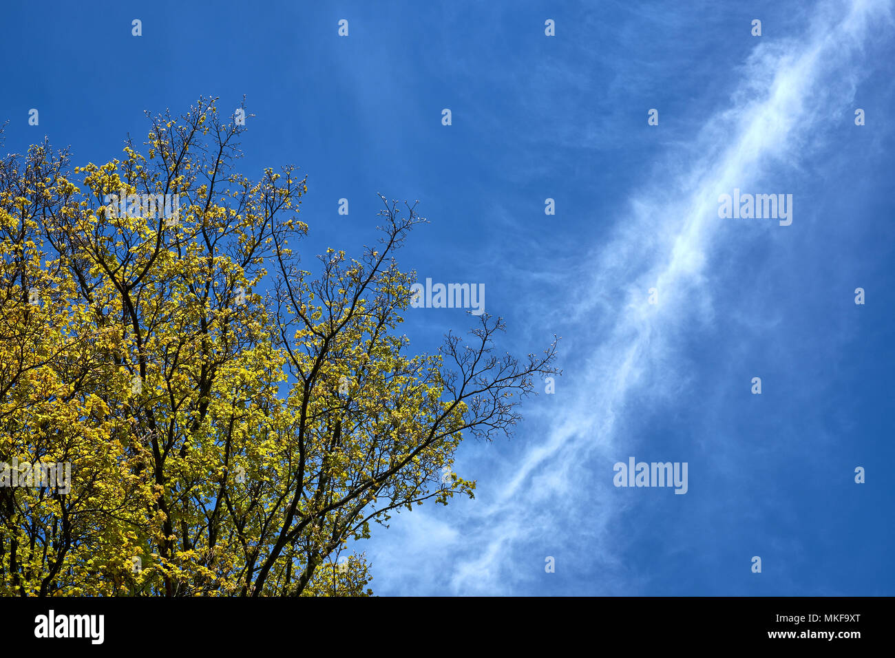 A line of white, wispy cirrus cloud cuts a blue sky above a tree coming into leaf in spring - Stock Image