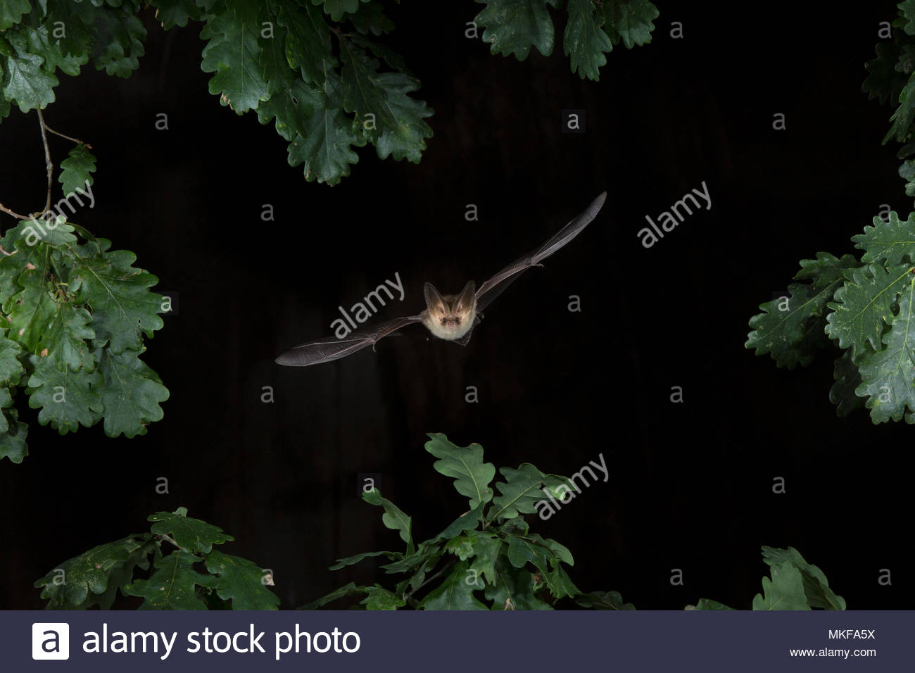 Brown long eared bat (Plecotus auritus) flying through the leaf canopy - Stock Image