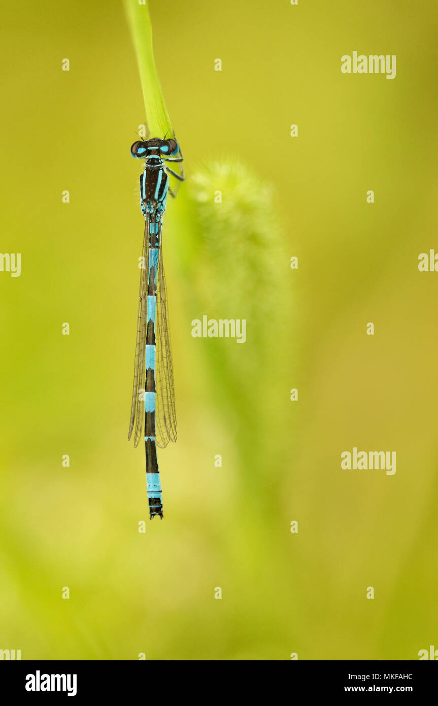 Southern Damselfly (Coenagrion mercuriale) male on a stalk in a humid area of the bocage bourbonnais, Auvergne, France - Stock Image