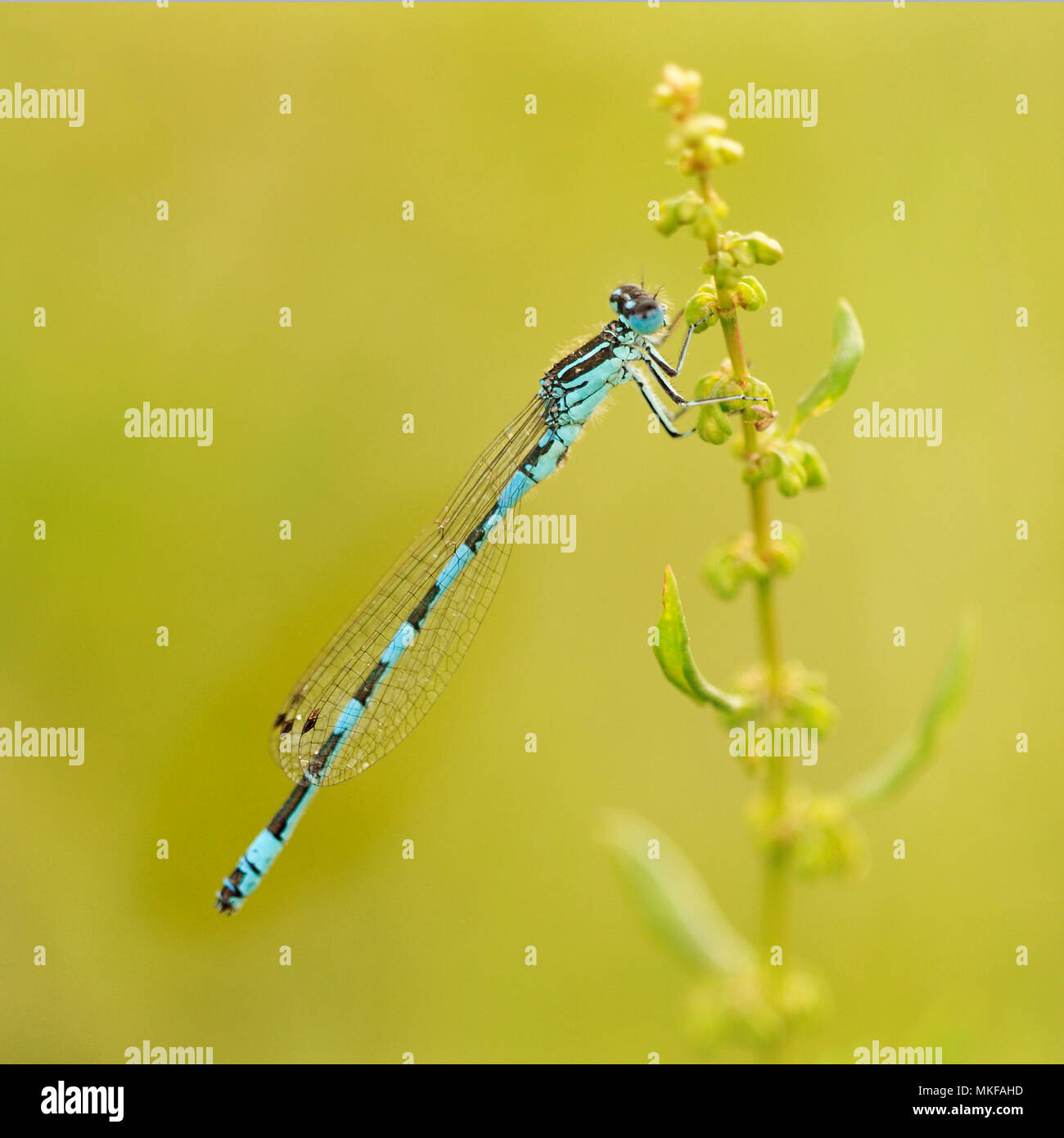 Southern Damselfly (Coenagrion mercuriale) on a flowering stalk in a humid area of the bocage bourbonnais, Auvergne, France - Stock Image