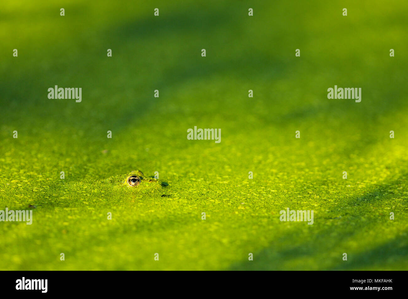 Edidle Frog (Rana esculenta) camouflaged under the lenses of water in a pond in the Bourbonnais farmland in summer, Auvergne, France - Stock Image