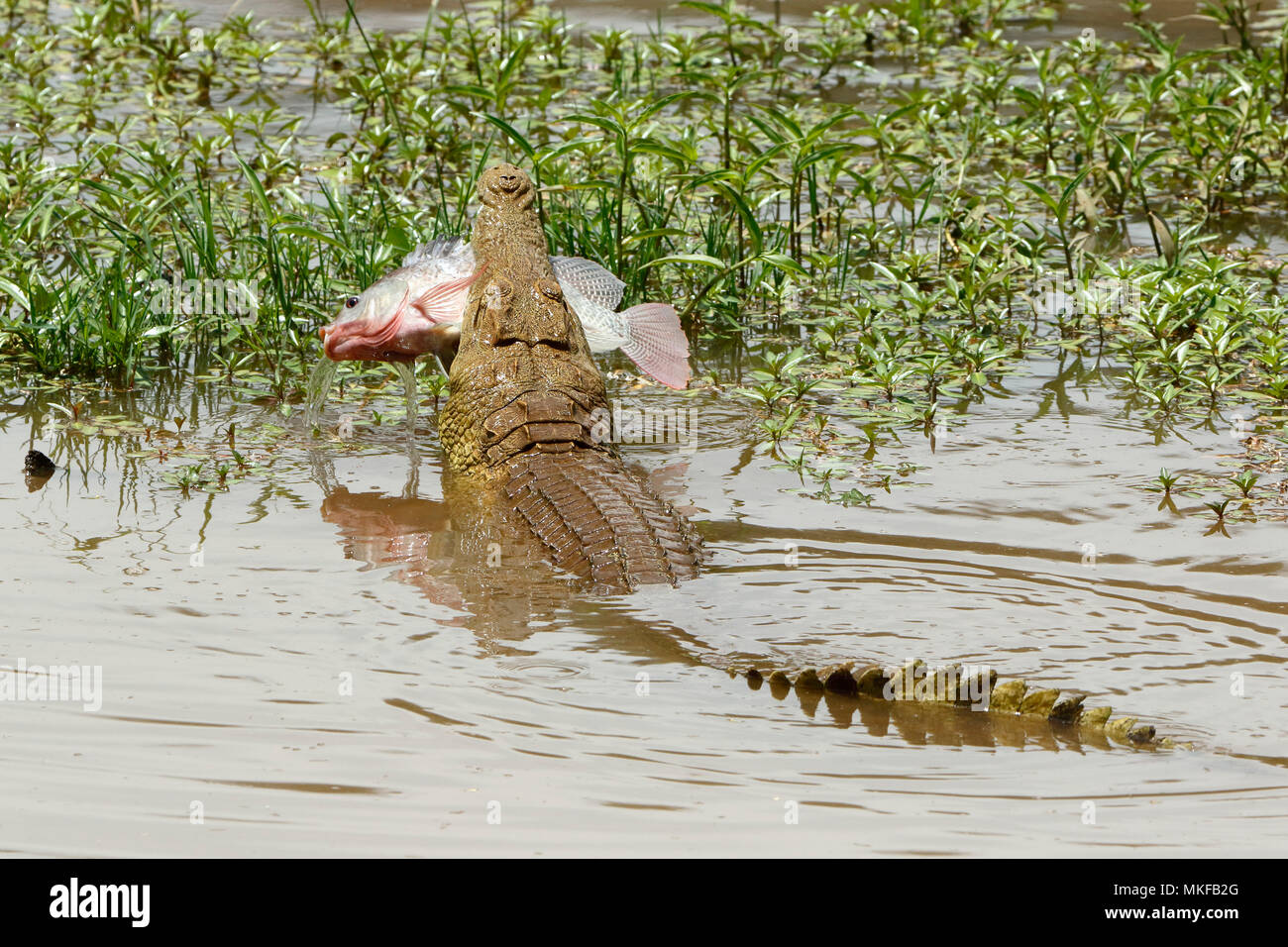 Nile Crocodile (Crocodylus niloticus) having caught a fish, Kruger NP, South Africa - Stock Image