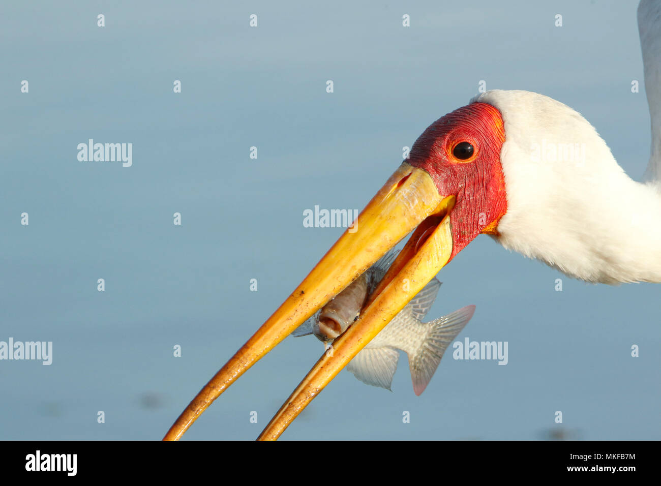 Yellow-billed Stork (Mycteria ibis) having caught a fish, Kruger NP, South Africa - Stock Image