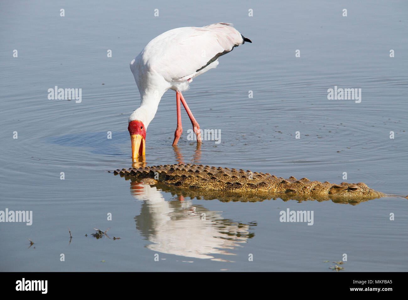 Yellow-billed Stork (Mycteria ibis) and Nile crocodile (Crocodylus niloticus) in water, Kruger NP, South Africa - Stock Image