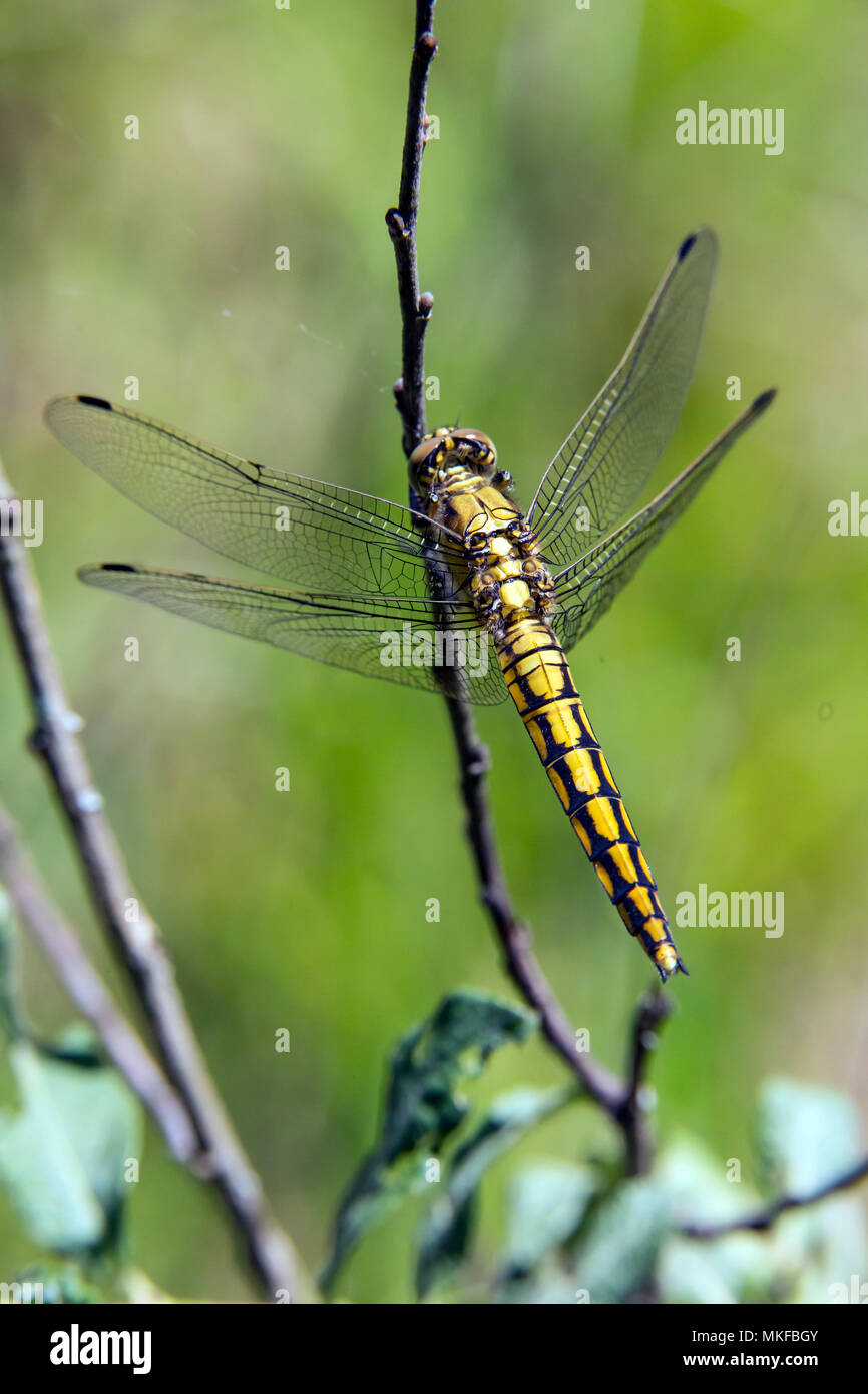 Black-tailed skimmer (Orthetrum cancellatum) female resting on a bush in spring, forest pond, massif de la Reine, Lorraine, France Stock Photo