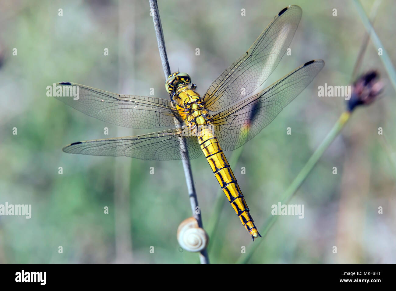 Black-tailed skimmer (Orthetrum cancellatum) female resting on a dry rush rod in spring, forest pond, massif de la Reine, Lorraine, France Stock Photo