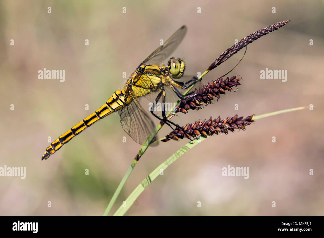 Black-tailed skimmer (Orthetrum cancellatum) female resting on a rod of rush in spring, forest pond, massif de la Reine, Lorraine, France - Stock Image