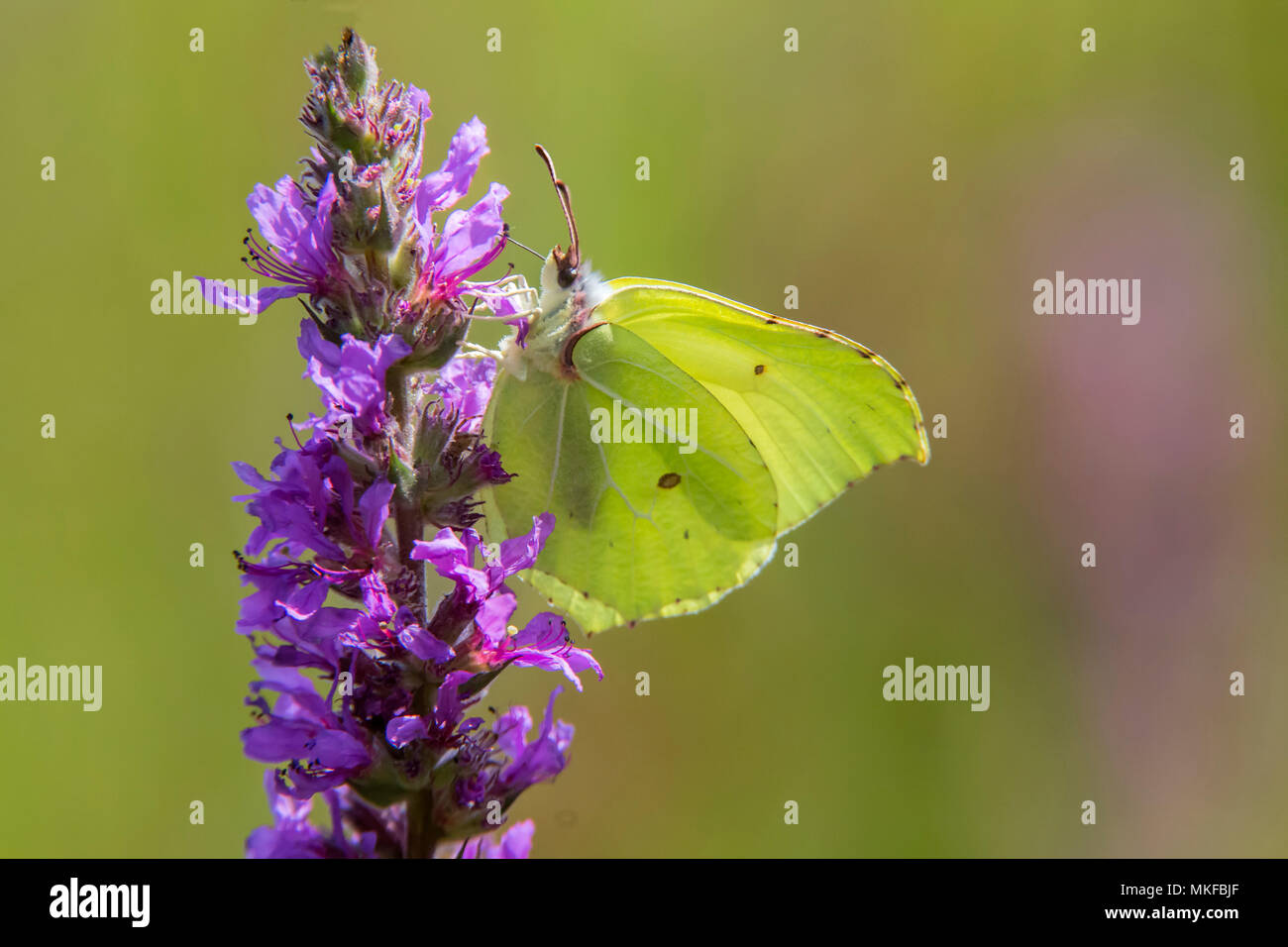 Brimstone (Gonepteryx rhamni) on flower in summer, Forest pond, Massif de la Reine, Lorraine, France Stock Photo