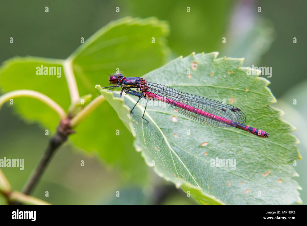 Damselfly (Pyrrhosoma nymphula) On a leaf in summer, Lispach peat bog, Vosges, France Stock Photo