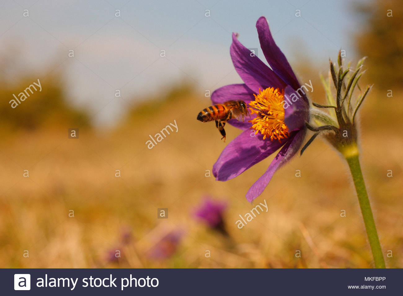 Honey bee (Apis mellifera) foraging a Pasque flower (Pulsatila vulgaris) on a limestone hill in the spring, in March, Picardie, France. Mountain Fignières - Natural site protected by the Conservatory of natural areas of Picardy. - Stock Image