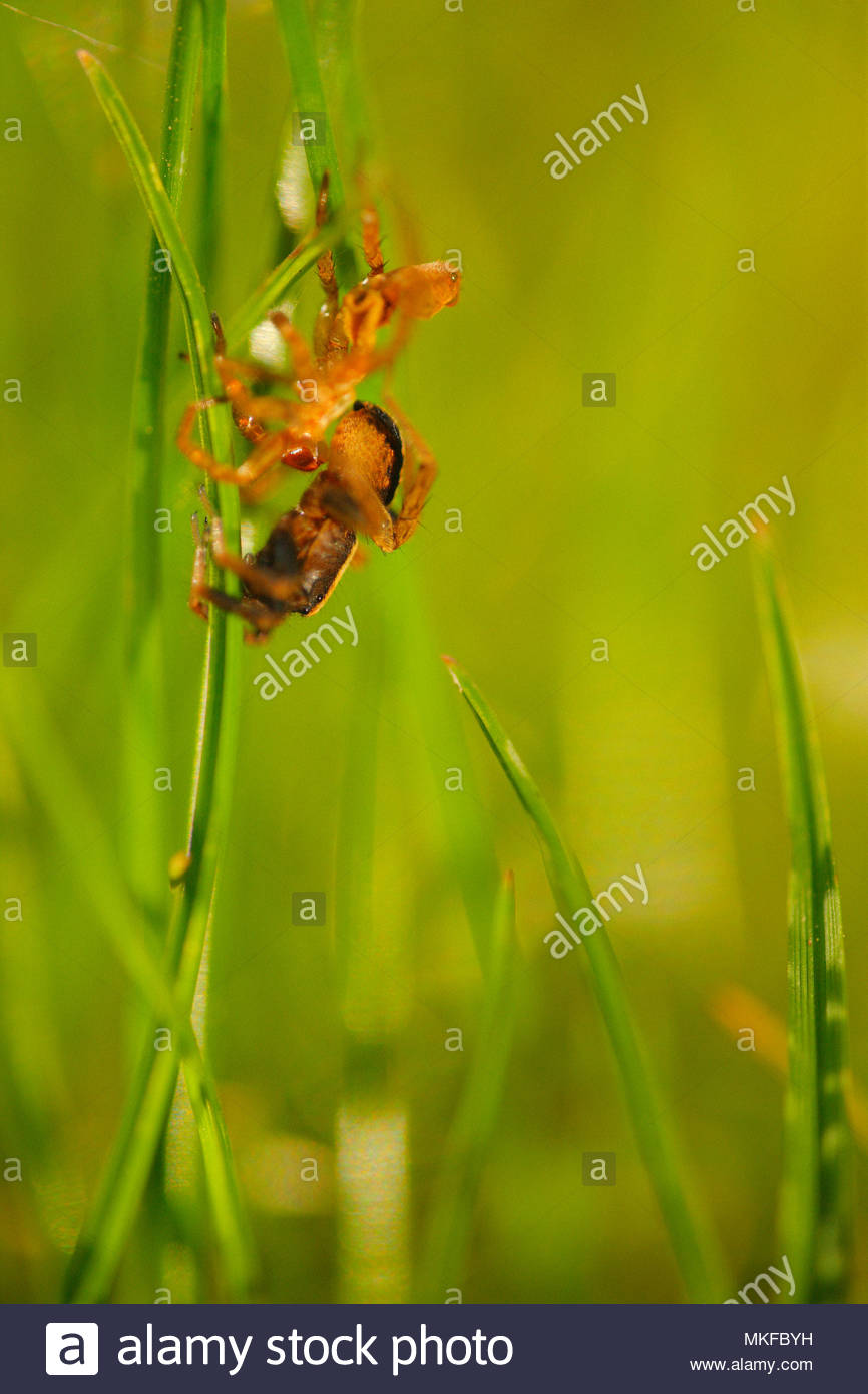 Wolf Spider (Pardosa saltans) getting rid of its exuvia during the moult in the grass of a lawn in a residential garden, in spring, in April, in Picardie - France. - Stock Image