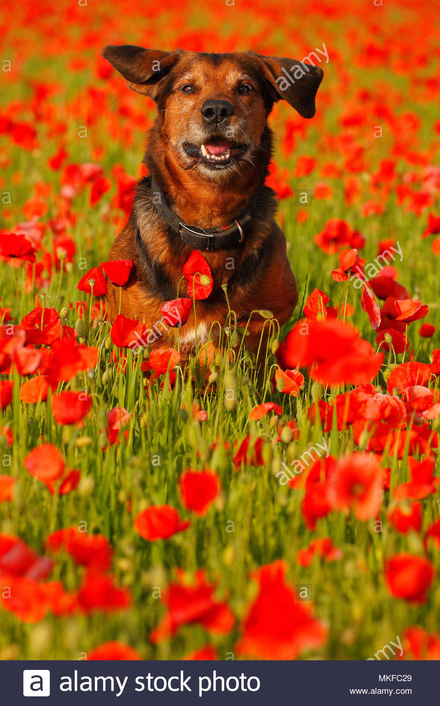 Dog (Canis familiaris) leaping into a field of poppies (Papaver rhoeas), in spring, in May, in Picardie - France. - Stock Image
