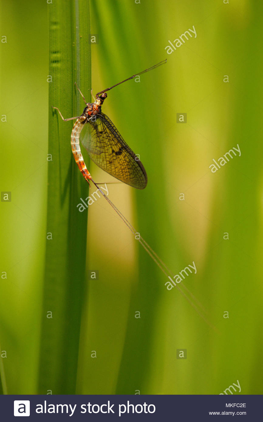 May fly (Ephemera danica) on a leaf of sedge (Carex sp) male at the edge of a pond in a marsh, in spring, in June, in Picardy - France. - Stock Image