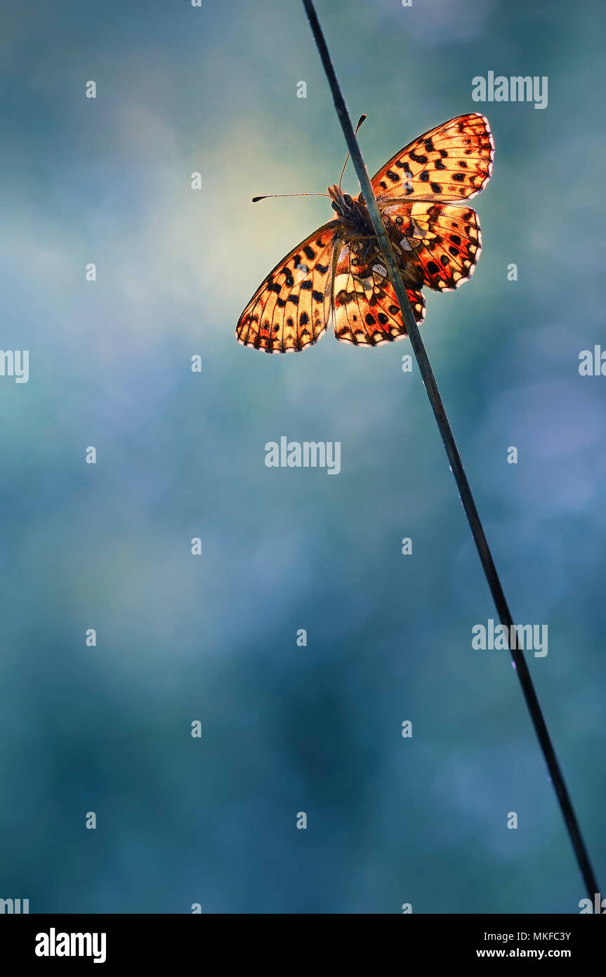 Butterfly (Nymphalidae sp) on a stem, France - Stock Image
