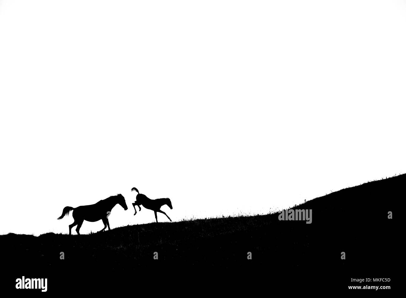 Silhouette of Mare and foal kicking on white background - Stock Image