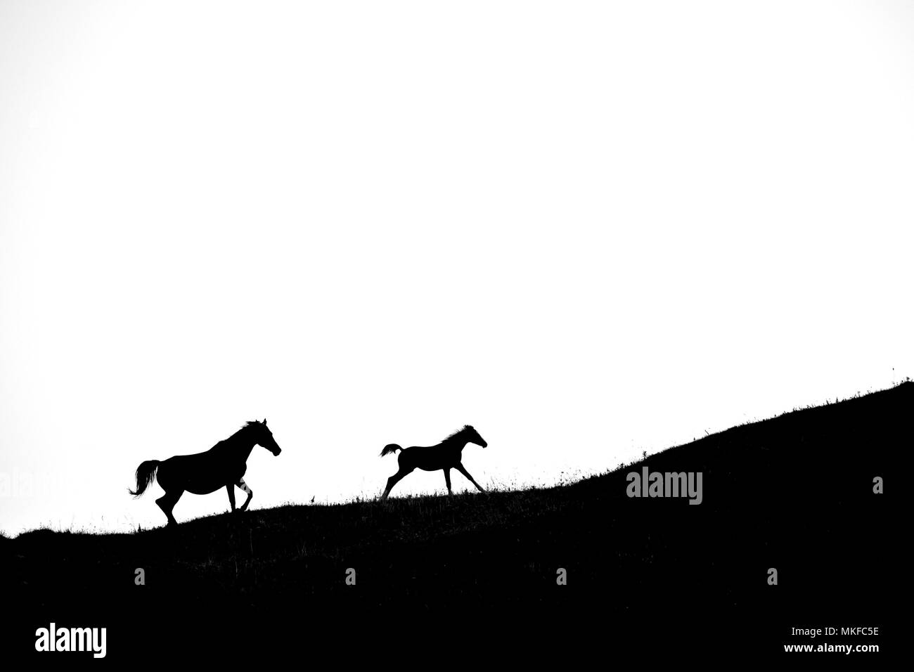 Silhouette of Mare and foal running on white background - Stock Image