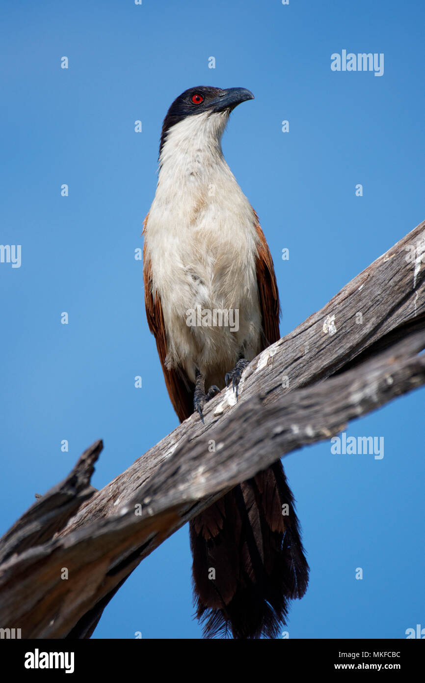 Coppery-tailed Coucal (Centropus cupreicaudus) on a branch, Moremi, Botswana - Stock Image