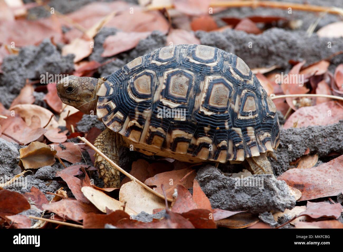 Leopard tortoise (Stigmochelys pardalis), Botswana - Stock Image