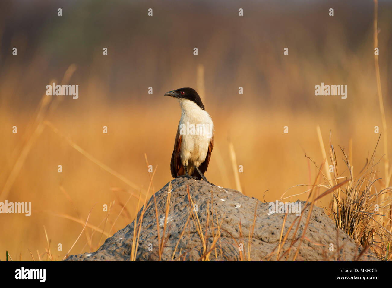 Coppery-tailed Coucal (Centropus cupreicaudus), Moremi, Botswana - Stock Image