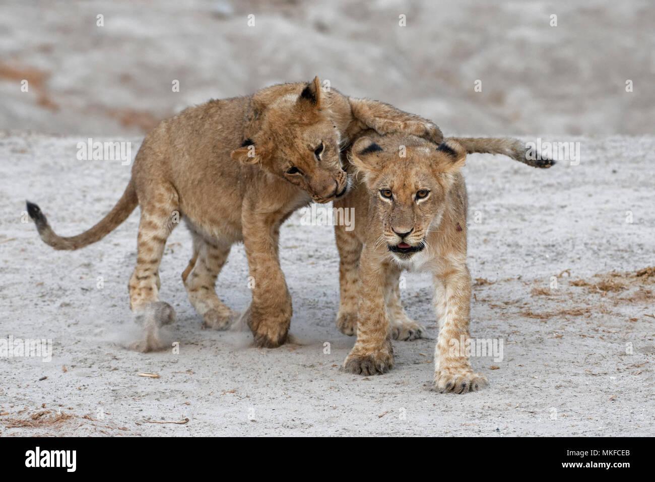 Lion (Panthera leo) cubs playing, Botswana - Stock Image