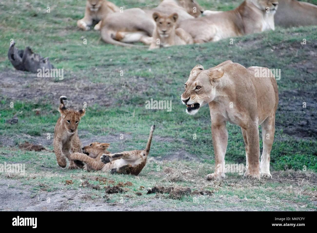 Lion (Panthera leo) cubs playing , Botswana - Stock Image