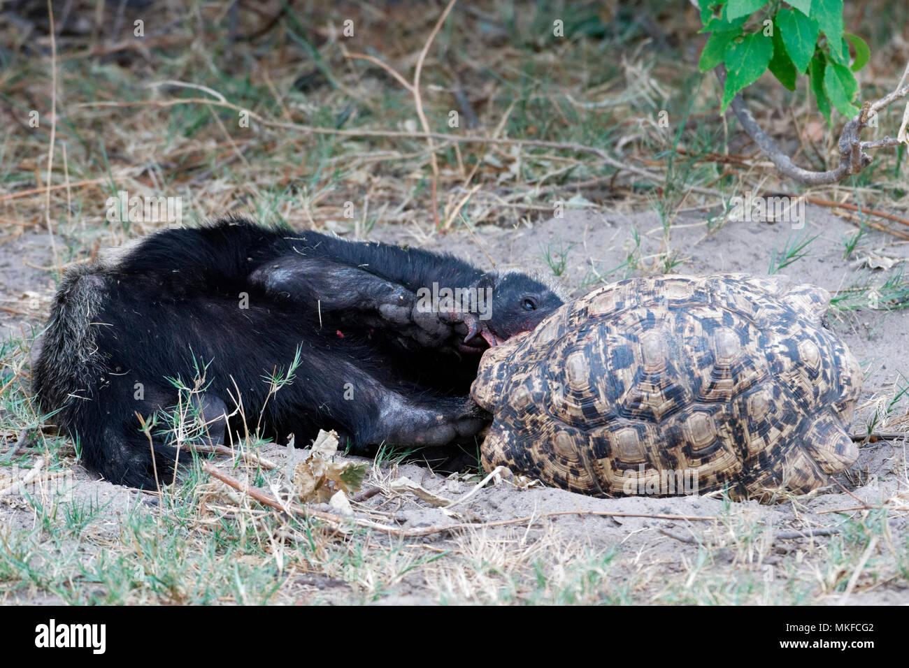 Honey badger (Mellivora capensis) eating a leopard tortoise, Botswana - Stock Image