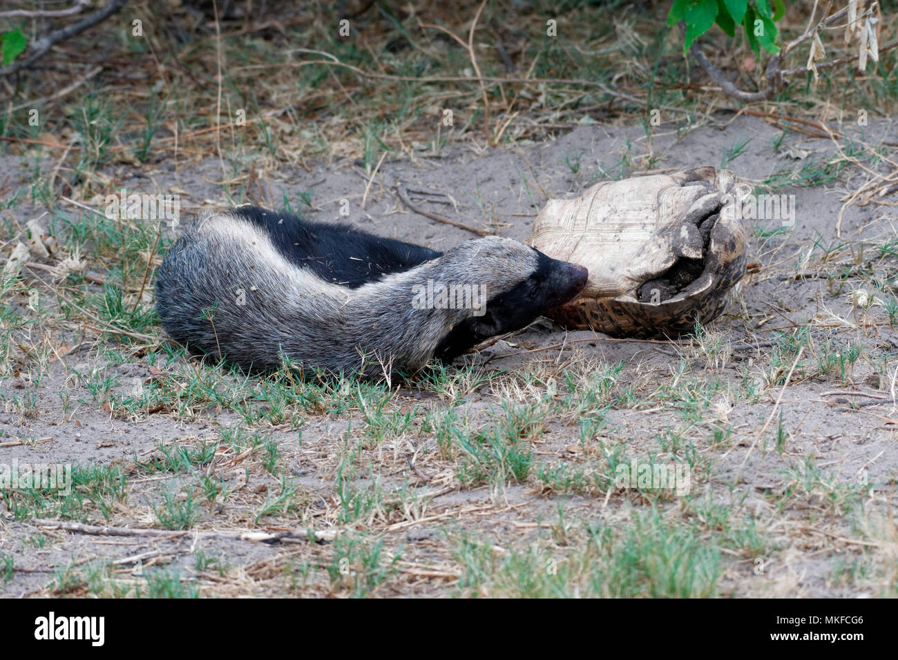 Honey badger (Mellivora capensis) eating a leopard tortoise, Botswana - Stock Image
